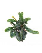Bucephalandras-Plantasygambas.com