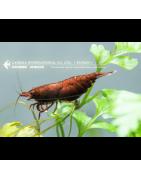Invertebrados-dulce