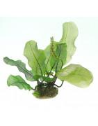 Aponogeton y crinum-Plantasygambas.com