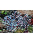 Gorgonias y otros-Plantasygambas.com
