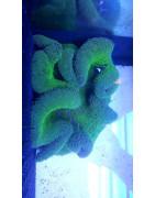 Anemonas-Plantasygambas.com